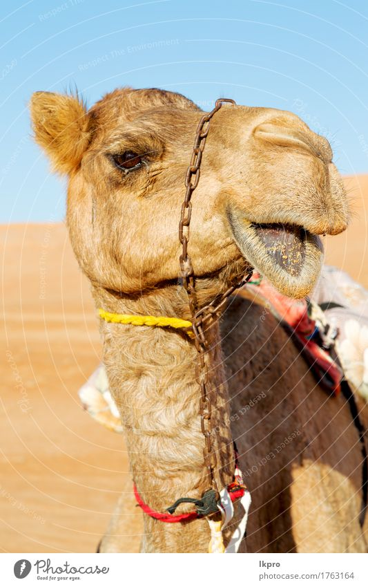 y in oman empty quarter of desert a free Sky Nature Vacation & Travel Summer White Clouds Animal Beach Black Face Yellow Gray Brown Sand Tourism Wild