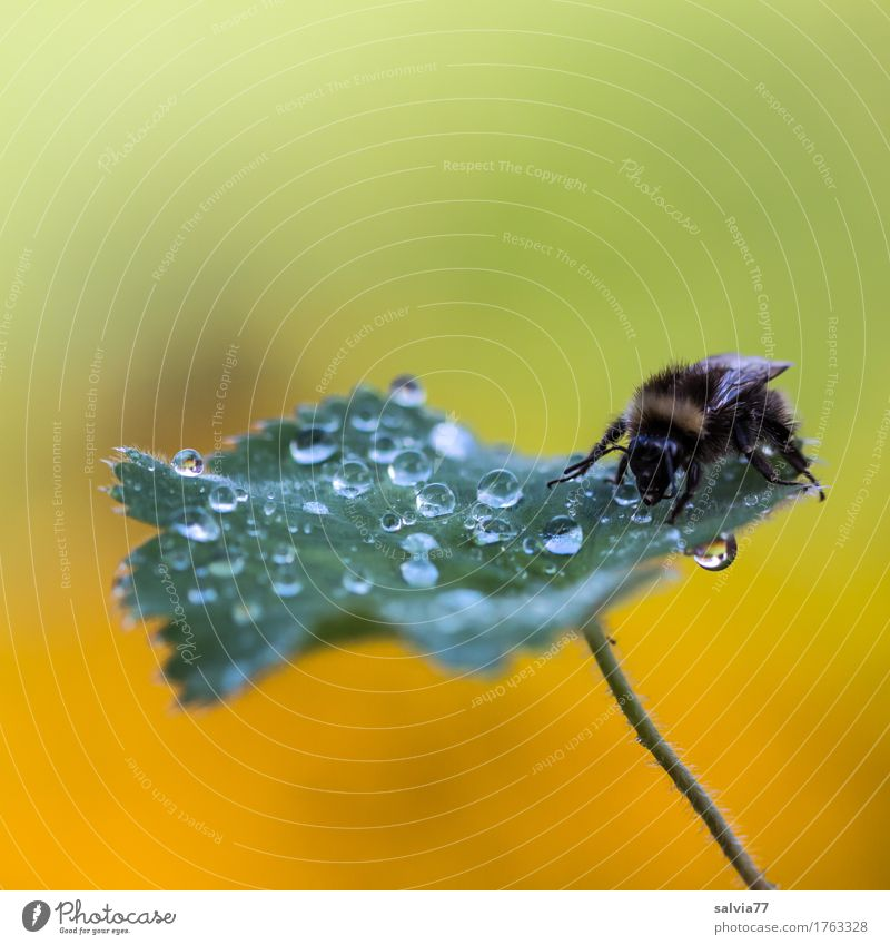 Early in the morning Harmonious Environment Nature Drops of water Spring Plant Leaf Garden Animal Insect Bumble bee 1 Crawl Drinking Fresh Yellow Green Calm