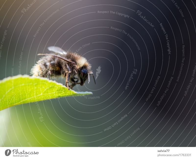 Is she flying or not? Environment Nature Plant Animal Spring Summer Leaf Garden Bumble bee Insect 1 Crawl Free Above Brown Gray Green Beginning Mobility Break