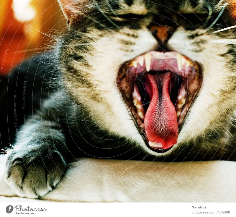 Predator! Colour photo Multicoloured Interior shot Deserted Day Closed eyes Pet Cat 1 Animal Funny Yawn Boredom Fatigue Tongue Set of teeth Throat Bad breath