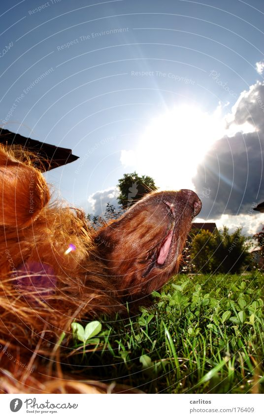 Weekend' and sunshine ..... Dog Irish setter man's best friend Relaxation rest Break Just let five be Calm digest be eager to eat