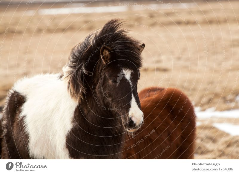 Portrait of a black and white Icelandic Vacation & Travel Tourism Far-off places Freedom Horse 2 Animal Icelandic horse Iceland pony Iceland ponies Icelander