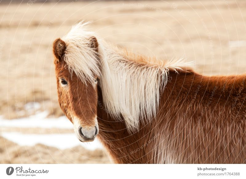 Icelandic horse with blond mane Vacation & Travel Tourism Adventure Far-off places Winter Horse 1 Animal Iceland pony Iceland ponies Icelander brown snow
