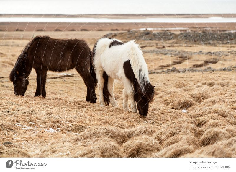 Two Icelandic horses Vacation & Travel Tourism Adventure Far-off places Horse 2 Animal Iceland pony Iceland ponies Icelander snow weather mane Bangs stallion