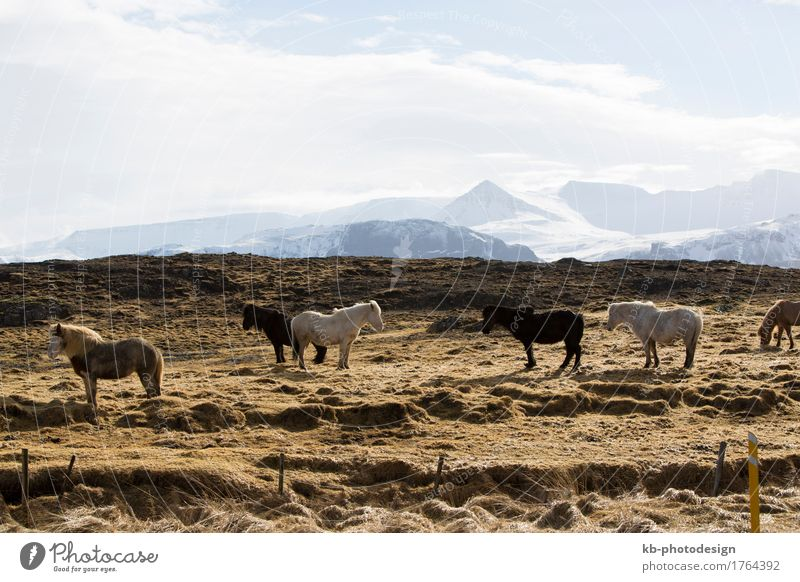 Icelandic horses in front of snowy mountains Ride Vacation & Travel Tourism Adventure Far-off places Winter Icelandic pony Icelandic ponies hay food weather