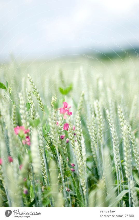 cereals Colour photo Subdued colour Exterior shot Deserted Copy Space top Day Environment Nature Plant Summer Field Healthy Green Sweet pea Pink Wheat Grain