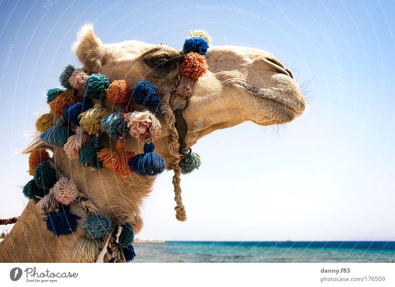 """Camel """"Max"""" Colour photo Exterior shot Close-up Copy Space right Copy Space bottom Day Contrast Sunlight Shallow depth of field Central perspective"""