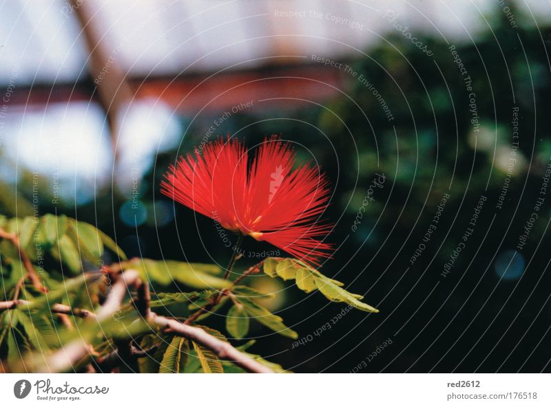 Red and fiery Colour photo Close-up Deserted Copy Space right Copy Space top Neutral Background Day Deep depth of field Central perspective Plant Flower Blossom