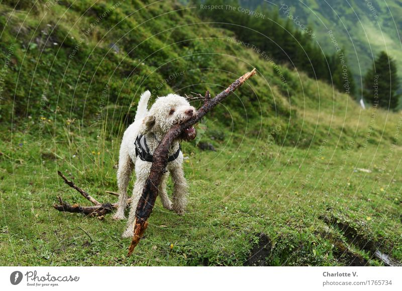 Dog Nature Green White Animal Joy Meadow Grass Wood Playing Power Happiness Joie de vivre (Vitality) Adventure Cute Cool (slang)
