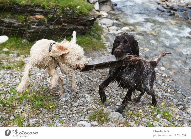 stick fighting Animal Pet Dog 2 Stick Stone Wood Water Movement To hold on Hang Fight Looking Playing Jump Romp Carrying Together Wet Speed Wild Brown Gray