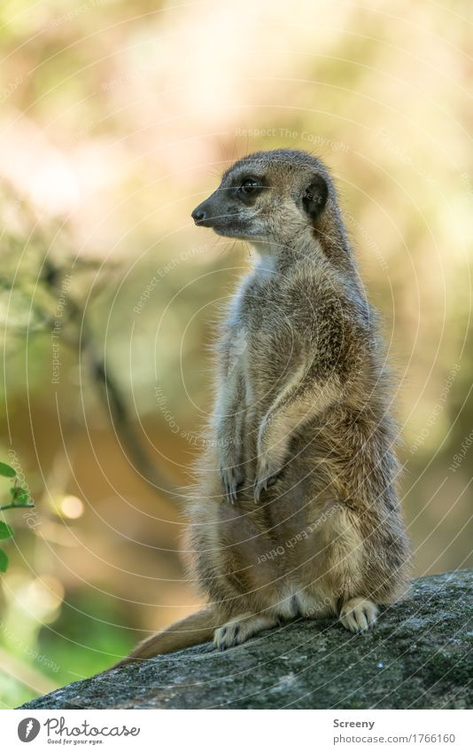 guard Nature Animal Summer Beautiful weather Wild animal Meerkat 1 Observe Sit Watchfulness Curiosity Colour photo Exterior shot Deserted Day Light Shadow
