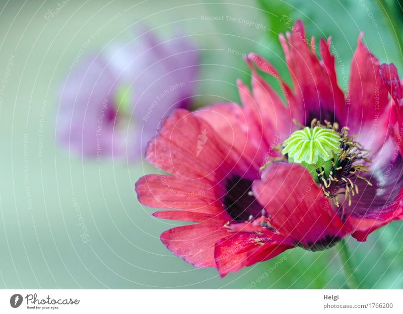 poppy-seed day again... Environment Nature Plant Summer Flower Poppy Opium poppy Poppy blossom Garden Blossoming Growth Esthetic Fresh Beautiful Uniqueness