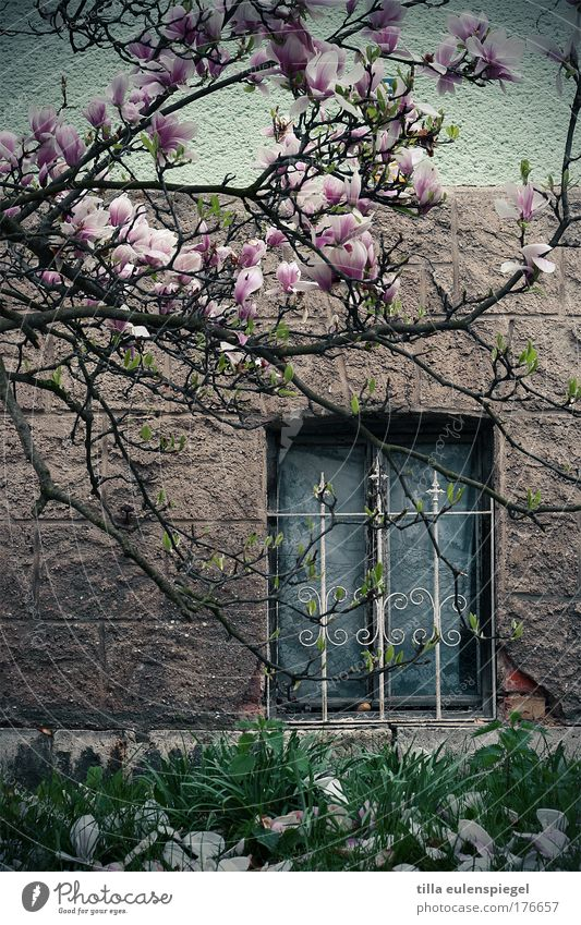 Nature Plant House (Residential Structure) Dark Wall (building) Window Spring Stone Wall (barrier) Magnolia plants Facade Serene Blossoming Exotic Grating