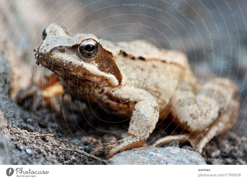full body shot of a frog Frog Animal spring frog Grass frog Summer Alps Mountain 1 Stone Jump Curiosity Brown Gold Gray Black Fairy tale Rana dalmatina