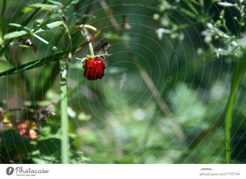 wild strawberry Colour photo Exterior shot Macro (Extreme close-up) Day Fruit Nature Plant Summer Grass To enjoy Fresh Delicious Juicy Green Red Moody Lust