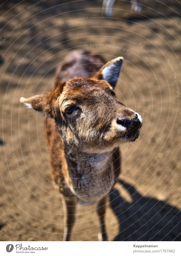 Jörg Wild animal Animal face deer Roe deer Hind 1 Happy Loyalty Curiosity Surprise Environment Colour photo Exterior shot Close-up Copy Space top Day Sunlight