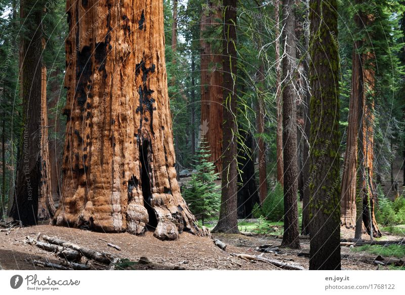 Man, is the big... Vacation & Travel Environment Nature Landscape Plant Tree Redwood Tree trunk Forest Sequoia National Park California USA Americas
