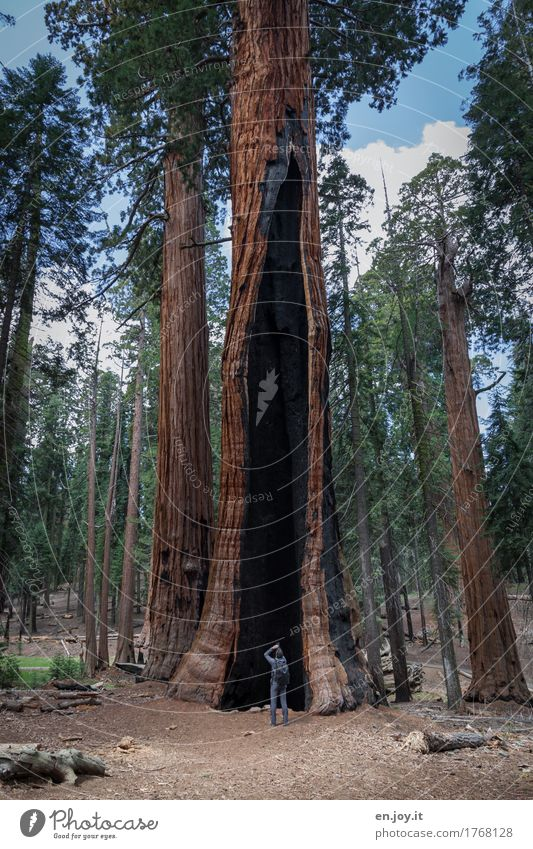 survival Vacation & Travel Tourism Man Adults 1 Human being Environment Nature Landscape Plant Tree Redwood Forest Mountain Sierra Nevada Sequoia National Park
