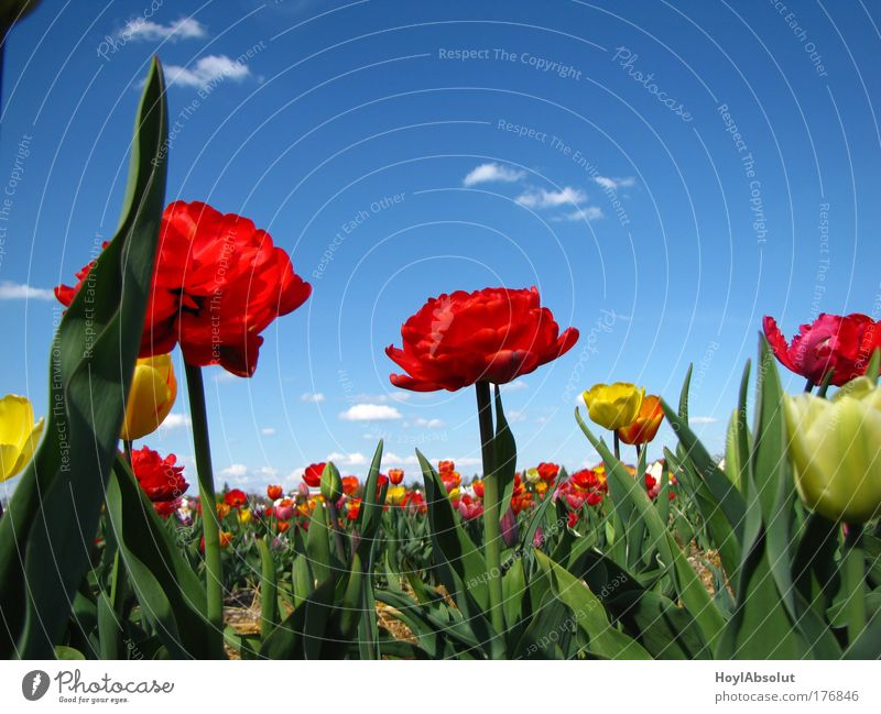 Nature Sky Flower Plant Clouds Spring Air Field Happiness Near Beautiful weather Tulip