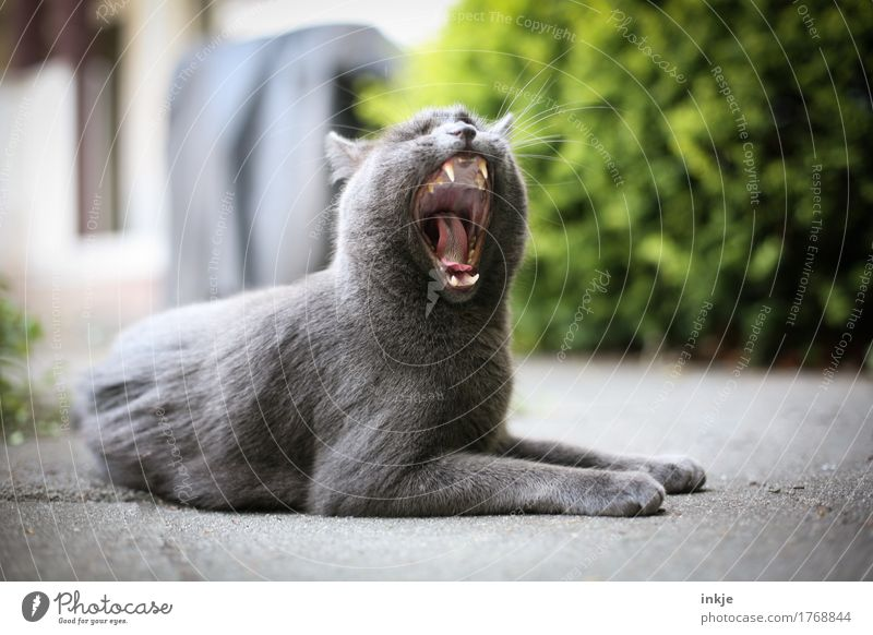Cat Animal Calm Emotions Garden Gray Contentment Lie Open Set of teeth Fatigue Pet Animal face Safety (feeling of) Domestic cat Muzzle