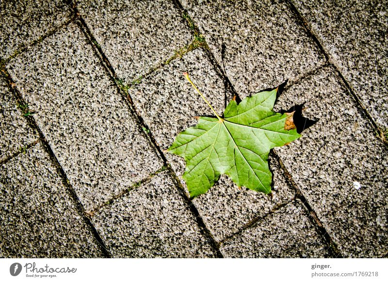 Summer Green Leaf Environment Lanes & trails Gray Brown Line Lie Ground Paving stone Direct Maple leaf Shriveled Rachis Fallen