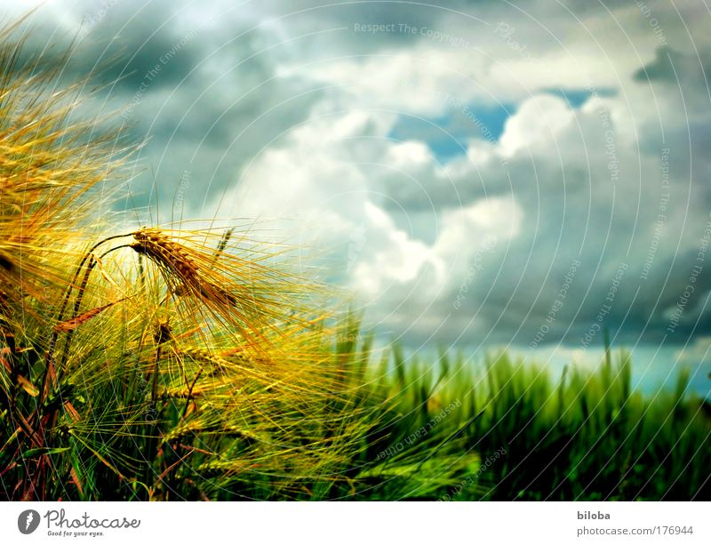 Harvest Sky Nature Green Blue Plant Summer Yellow Financial Industry Environment Moody Brown Field Gold Fresh Climate