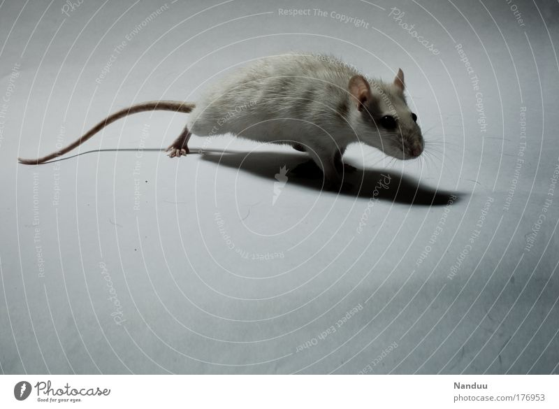 White Calm Animal Dark Gray Moody Fear Poverty Clean Mysterious Creepy Curiosity Cute Disgust Rodent Pet