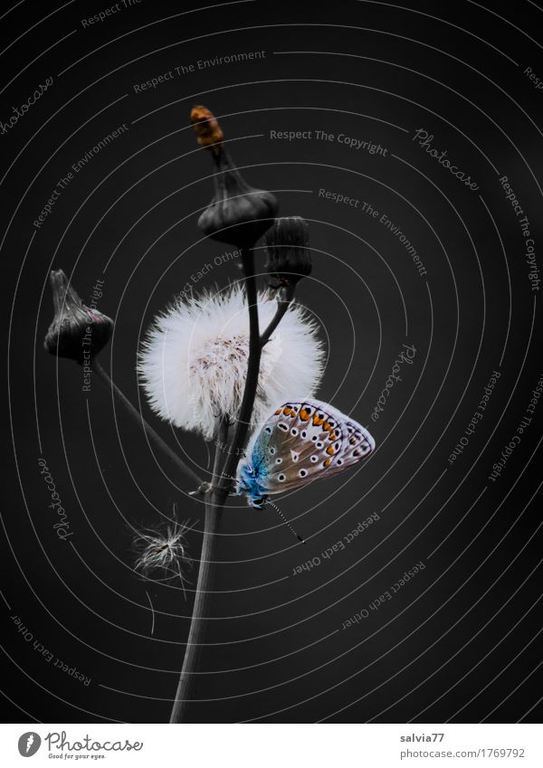 fluffy Environment Nature Plant Animal Summer Blossom Wild plant Seed Butterfly Wing 1 Faded Wait Small Cute Soft Blue Gray Calm Esthetic Uniqueness Ease Break