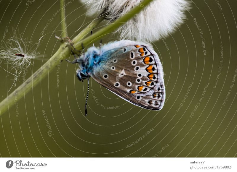 upside down Environment Nature Plant Animal Summer Blossom Wild plant Seed Stalk Wild animal Butterfly Wing Insect Polyommatinae 1 Faded Esthetic Natural Blue