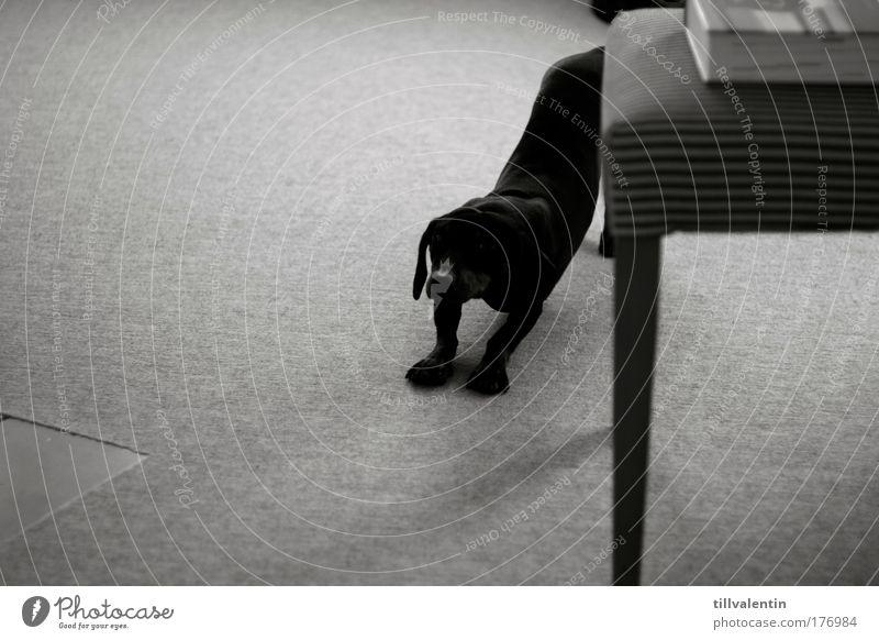 Dog Animal Black Elegant Sleep Fatigue Pet Stretching Arise Dachshund