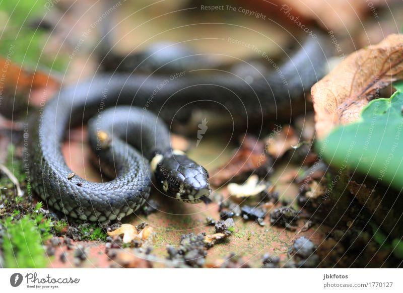 Zzzzzzz Environment Nature Animal Wild animal Snake Ring-snake 1 Baby animal Exotic Creepy Astute Muscular Speed Crawl Tongue To feed Foraging Reptiles Leaf