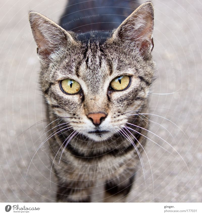 Do you have any treats for me? Animal Pet Cat Animal face 1 Looking Authentic Curiosity Cute Cat eyes Meow Striped Free-living Prowl Street cat Baby animal