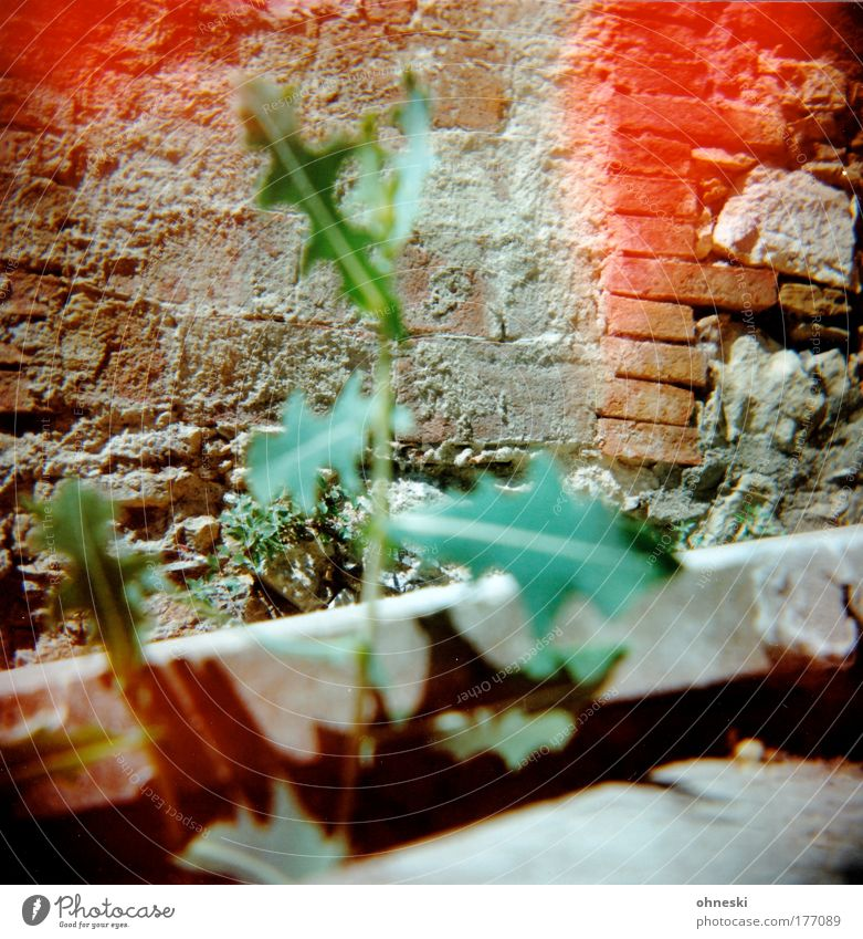 Nature Flower Green Plant Red Summer Wall (building) Wall (barrier) Environment Dandelion