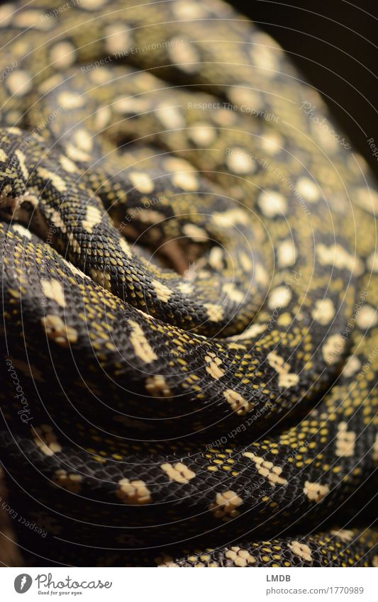 Animal Black Yellow Fear Wild animal Gold Dangerous Animalistic Exotic Rotate Spiral Poison Snake Scales Rolled Snake skin