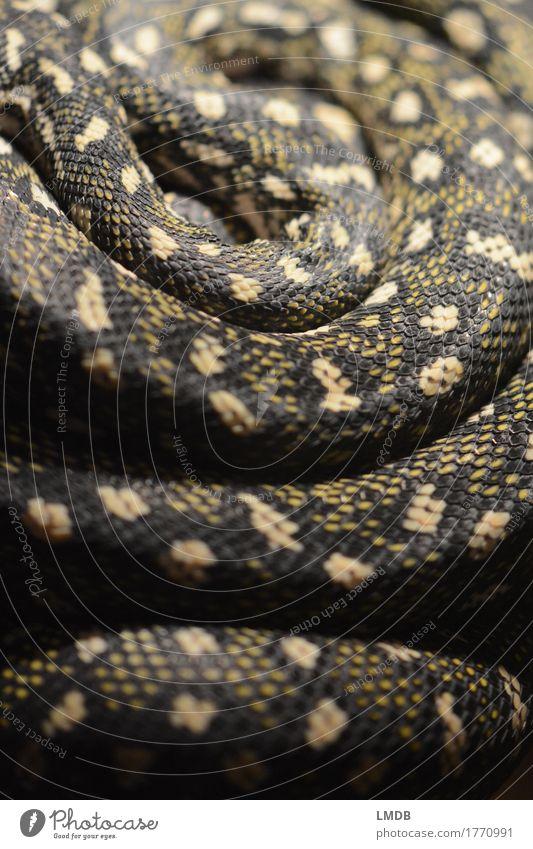 snake loop Animal Wild animal Snake Yellow Gold Black Terrarium Snake skin Snakeskin Wavy grain Pattern Scales Wiggly line Loop Spiral Rotated Fear Exotic