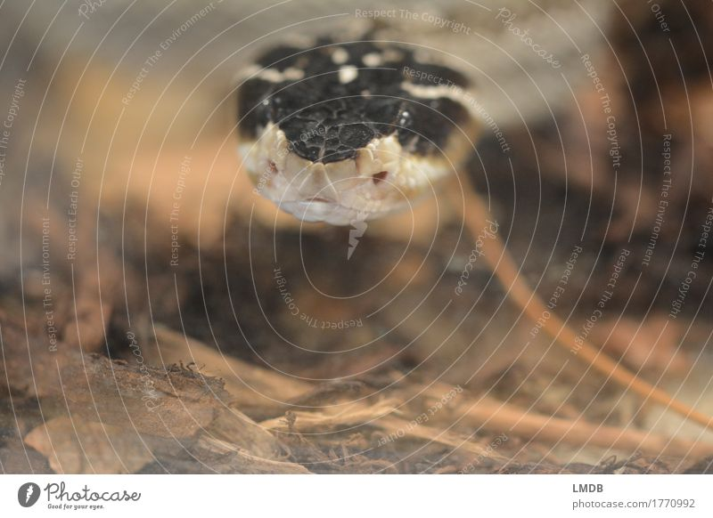 snakeshower Animal Wild animal Snake 1 Black Button eyes Curiosity Observe Scales Terrarium Fear Looking Exotic Colour photo Close-up Copy Space bottom