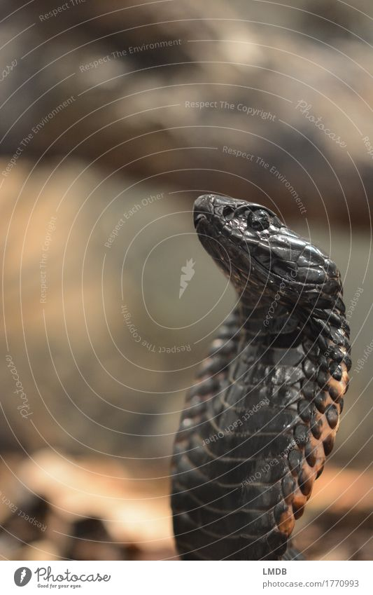 king cobra Animal Wild animal Snake Animal face Scales 1 Exotic Black Cobra Head Eyes Tension Sublime Pride Noble Arrogant Colour photo Subdued colour Detail