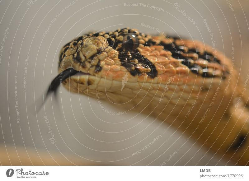 Snake-tungling Animal Wild animal 1 Orange Black Scales Head Tongue Flicker the tongue Hissing Fear split tongue Eyes Muzzle Tension Observe Colour photo