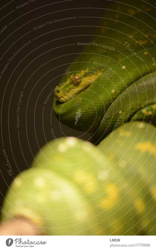 Snake green Animal 1 Exotic Green Coil Wound up Break Rest Stationary Scales Eyes Terrarium Colour photo Detail Copy Space left Copy Space bottom Blur