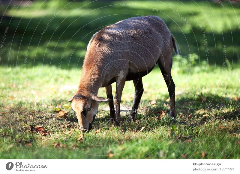 Grazing cameroon sheep in a deer park Sheep 1 Animal To feed Africa agriculture Buck breed breeders breeding brown Cameroon cattle farm farm animal Farmer