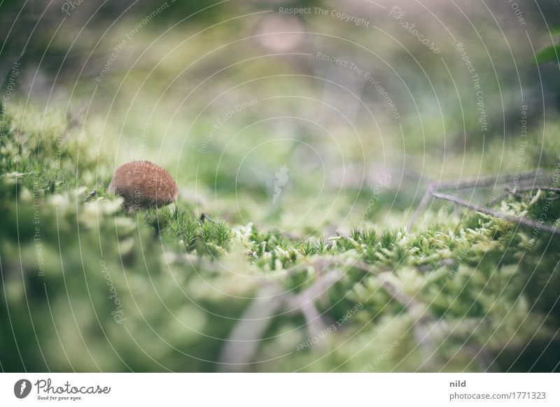 Mushroom 3 Environment Nature Landscape Plant Moss Forest Brown Green Puff-ball Carpet of moss Woodground Colour photo Exterior shot Close-up Detail