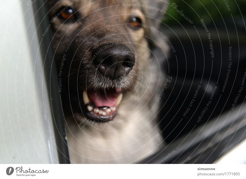 Dog looks out of a car Lifestyle Joy Well-being Summer Warmth Road traffic Motoring Vehicle Car Animal Pet Paw 1 Hot Funny Point Feminine Safety Protection