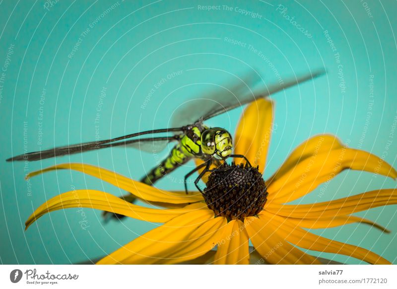 flight pause Nature Plant Animal Summer Beautiful weather Blossom Wild animal Animal face Wing Dragonfly Dragonfly wing 1 Observe Blue Yellow Green Watchfulness