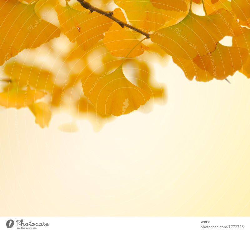 Nature Plant Tree Leaf Yellow Autumn Background picture Bright Glittering Gold Esthetic Friendliness Autumn leaves Autumnal colours Ginko