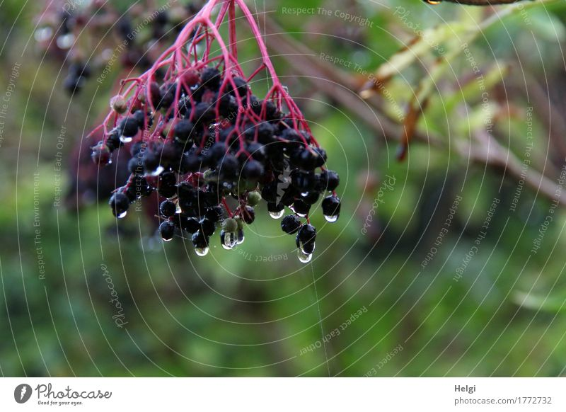 as fresh as a daisy Environment Nature Plant Drops of water Autumn Fog Bushes Wild plant Elder Elderberry Forest Hang Authentic Exceptional Fresh Cold Wet