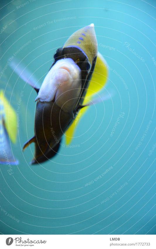 Swim, swim, swim! Environment Water Coral reef Animal Fish Scales Aquarium 2 Yellow Turquoise Swimming & Bathing Tropical Tilt Fin Surgeon fish Colour photo