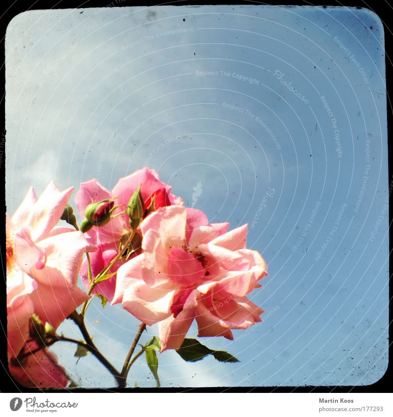 Beautiful Sky Flower Plant Colour Style Blossom Happy Pink Elegant Rose Esthetic Growth Retro Blossoming Passion