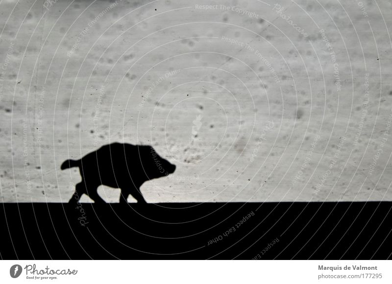 White Black Animal Meadow Power Field Going Walking Running Kitsch Wild animal Self-confident Odds and ends