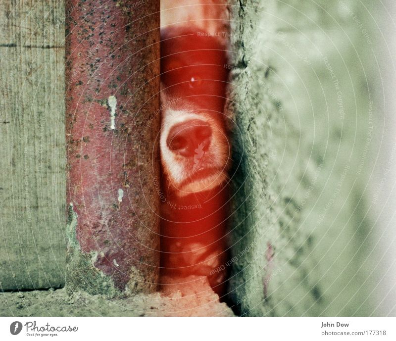 The dog sees red! Experimental Blur Animal portrait Eastern Europe Wall (barrier) Wall (building) Facade Farm Pet Dog Animal face 1 Observe Curiosity Cute Red