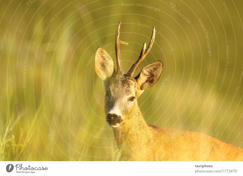 portrait of wild roe deer buck Beautiful Playing Hunting Summer Woman Adults Man Nature Animal Grass Meadow Forest Fur coat Natural Cute Wild Brown Green Roe